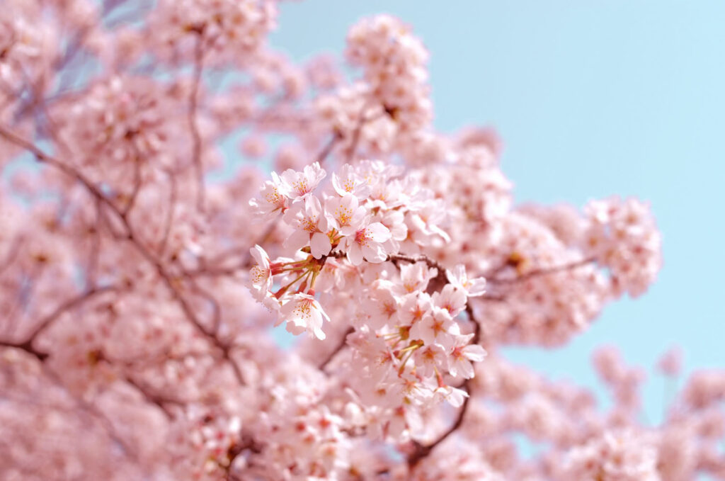 The Beautiful Meaning Behind Japan S Many Words For Cherry Blossoms The Creative Adventurer